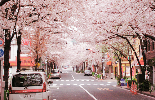 beautiful-cherry-blossom-flower-photography-Favim.com-1024590.png
